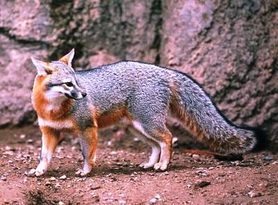 gray fox a native mammal in Florida