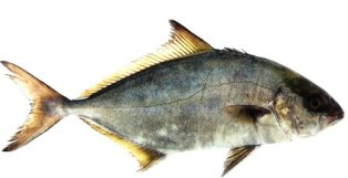 greater amberjack fish in marine waters of Florida