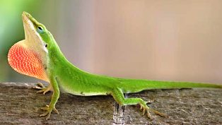 Florida green anole