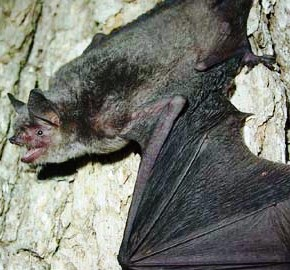 the gray bat, an endangered species in the state of Florida