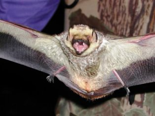 The hoary bat is one of Florida's most beautiful bats