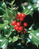 bright christmas holly a toxic plant for humans