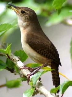house wren in Florida