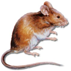 The house mouse (Mus musculus) is considered one of the most troublesome and economically important pests in the United States.