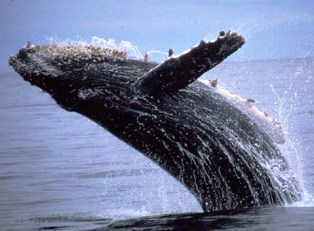 The humpback whale is a baleen whale  that sings amazing songs.