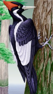 the ivory billed woodpecker, an endangered bird in the state of Florida