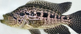 The jaguar guapote fish was first reported in Florida in 1992.