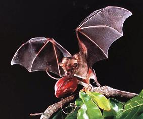 Jamaican Fruit Bat is a florida bat that eats fruit and smells like soap