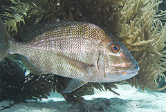 Jolthead porgy, common fish in Florida waters