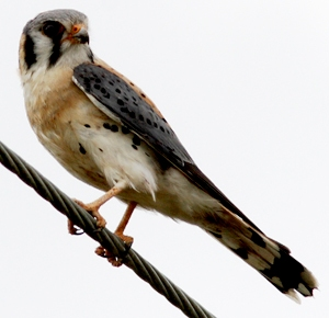 southeastern american kestrel bird found in Florida