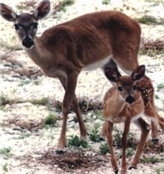 key deer and an endangered mammal in Florida