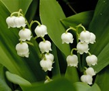 poisoinous lily of the valley plant