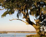 live oak tree with spanish moss hanging on the branches, a floridian fixture