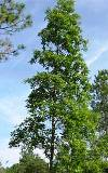 loblolly bay tree, native to central and northernl Florida