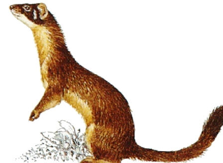 long-tailed weasel, the smallest florida carnivore