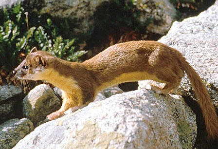 Long-tailed weasel found through the non coastal areas of Florida