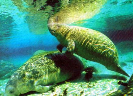 manatee can also be found at Homosassa Springs State Wildlife Park