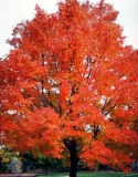beautiful red maple tree with bright fall colors