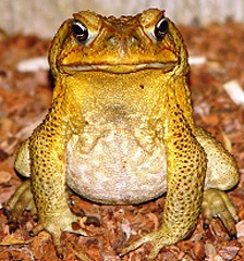 Marine or Giant Toad