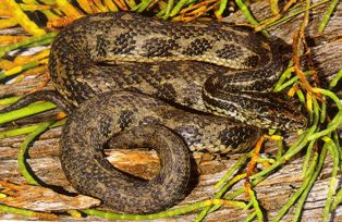 Atlantic Salt Marsh Snake