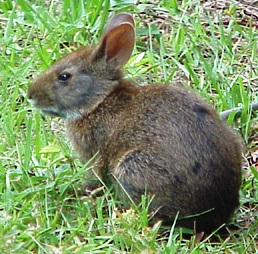 he Marsh Rabbit, Sylvilagus palustris, is found in freshwater and brackish marshes through out the state of Florida