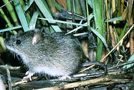 The marsh rice rat is a medium-sized generalized rat with a total length of 226-305 mm and a weight of 45-80 grams.