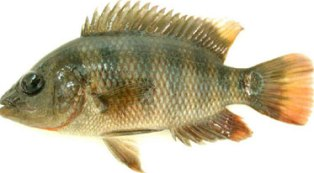 First recorded in Florida Bay in 1983, the Mayan cichlid is now established and abundant in south Florida