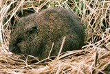 "he Meadow Vole, or ""Field Mouse,"" is a small, common rodent that lives in grassy fields, woodland, marshes, and along lakes and rivers"