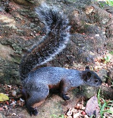 The Mexican gray squirrel is found in wooded areas on Elliot Key in Dade County where it was introduced from Mexico in 1938.
