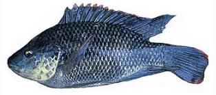 Florida fish miscellaneous fish 2 for Is tilapia a bottom feeder fish
