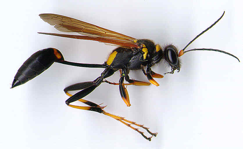 Flying Insects with Stingers http://www.floridiannature.com/flyinginsects.htm
