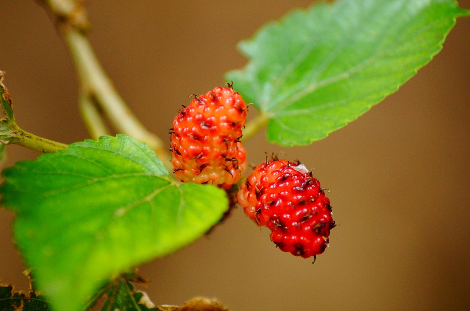https://www.maxpixel.net/Mulberries-Mulberry-Plant-Fruit-Red-Food-Berry-201789