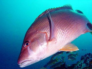 mutton snapper found off the coast of Florida