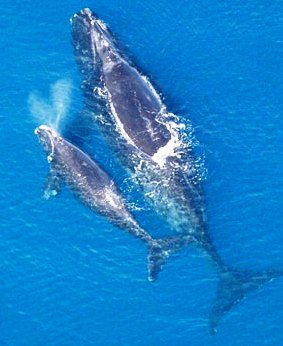 Right whales are typically sighted off Florida between November and April.