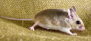 The oldfield mouse is present along the Gulf and Atlantic coastlines of Florida
