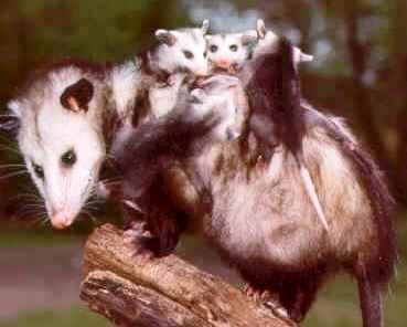 mother virginia opossum with her young on her back