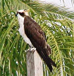 Florida osprey bird