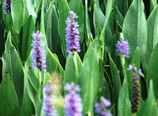 native Floridian pickerelweed