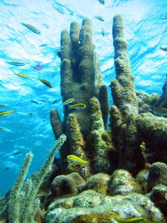 pillar coral and endangered species off the coast of Florida