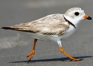 Piping Plover bird, threatened in the state of Florida