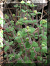 federally endangered deltoid spurge plant found in Florida nature