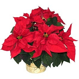 christmas poinsettias poison or not?