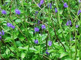 native Floridian butterfly attractor blue porterweed flower