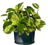 pothos plant a popular plant in Florida homes