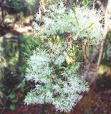 pygmy fringe tree, a rare fringe tree found only in central Florida