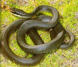 Non Venomous Snakes In Florida Racer And Rat