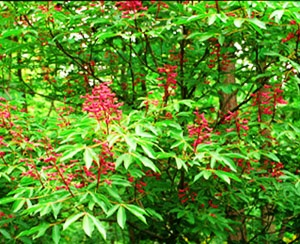red buckeye native to florida and attracts hummingbirds