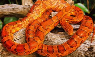 red rat snake (corn snake)