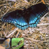 Red-Spotted Purple Butterfly in Florida
