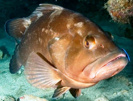 red grouper found near Florida and the bahamas